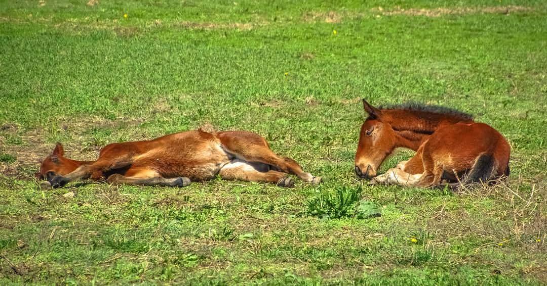 Standardbred Foals